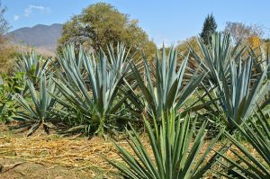 Espadin Agave -- it takes time to replace them as they are harvested.