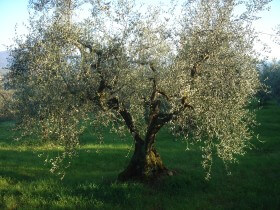 well pruned olive trees